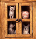 Burmese cat and kittens a mother with a two on the shelves of an old furniture Stock Image