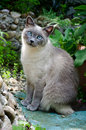 Burmese kitty Stock Photos