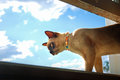 Burmese pet cat climbing and looking out of home window Royalty Free Stock Photo