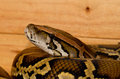 Burmese Python (Python bivittatus) Royalty Free Stock Photo