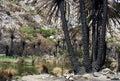 Burned palm trees Stock Photo