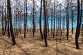 Burned pine forest Stock Images