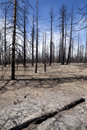 Burned Trees - Forest Fire Royalty Free Stock Photography