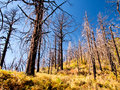 Burned trees trunks of in a forest fire Royalty Free Stock Photo