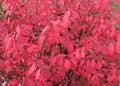 Burning Bush Background Royalty Free Stock Photo