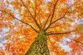 Burning fall tree I Royalty Free Stock Photo