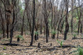 Burnt forest remains after bushfire in Yanchep National Park Royalty Free Stock Photo