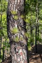 Burnt tree bark and new green regrowth following a forest fire the Canary Island Pine Tree pinus canariensis