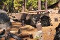 Burnt tree trunk in yosemite national park california Royalty Free Stock Photography