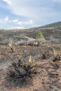 Burnt yucca and bushes after galena wildfire in lory state park near fort collins colorado green grass starting to regrow april Royalty Free Stock Image