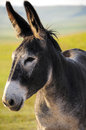Burro Royalty Free Stock Photos