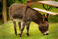 Burro a cute little furry donkey or munching grass in a park shallow depth of field Royalty Free Stock Photo
