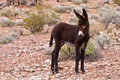 Burro Donkey Foal in Nevada Desert Royalty Free Stock Image