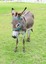 Burro or donkey standing on lawn Royalty Free Stock Photo