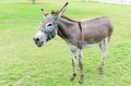 Burro or donkey standing on lawn Royalty Free Stock Photos