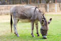 Burro grazing zoo Royalty Free Stock Images