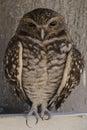 Burrow owl closeup of a Royalty Free Stock Photo