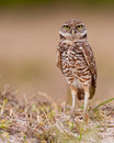 Burrowing owl Stock Image