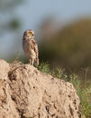 Burrowing Owl Stock Images