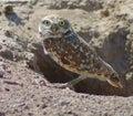 Burrowing Owl Royalty Free Stock Photo