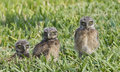 Burrowing Owl, Athene cunicularia Stock Image