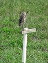 Florida burrowing owl Royalty Free Stock Photo