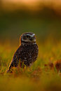 Burrowing Owl, Athene cunicularia, night bird with beautiful evening sun, animal in the nature habitat, Mato Grosso, Pantanal, Bra Royalty Free Stock Photo