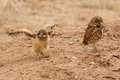 Burrowing owl chick young spreading wings with adult standing nearby Stock Images