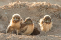 Burrowing owl chicks three young standing in front of burrow Stock Photo