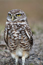 Burrowing owl close up profile Royalty Free Stock Photo