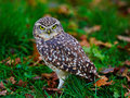 Burrowing owl closeup of a on the ground Royalty Free Stock Photography