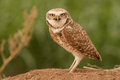 Burrowing owl full profile of adult standing on mound of dirt with green background Royalty Free Stock Photos
