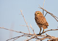 Burrowing Owl on guard Royalty Free Stock Image
