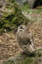 Burrowing Owl in Profile Stock Photo