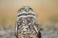 Burrowing owl staring you down on field south florida standing up head up and facing forward Stock Images