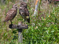 Burrowing Owls Stock Photography