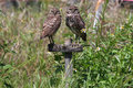Burrowing Owls in Cape Coral, Florida Royalty Free Stock Images