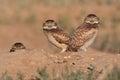 Burrowing Owls in Colorado Royalty Free Stock Photo