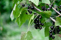 A Bush of a black currant with leaves and berries Royalty Free Stock Photo
