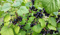 Bush of blackcurrant - black and sweet berries Royalty Free Stock Photo