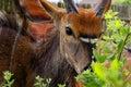 Bush buck a male eating a shrub Stock Photo