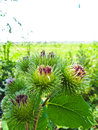 Bush of burdock plant Royalty Free Stock Photo