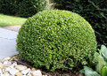 Bush Buxus (Buxus) Royalty Free Stock Photo