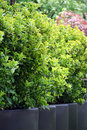 Bush Buxus (Buxus) Stock Photography