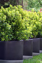 Bush Buxus (Buxus) Royalty Free Stock Photo
