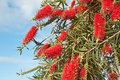 Bush callistemon viminalis in garden red Royalty Free Stock Photos