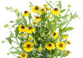 Bush of Coreopsis flowers Stock Photography