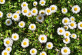 Bush daisies Stock Image