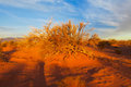 Bush in the desert at sunset Royalty Free Stock Photo
