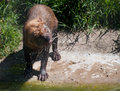 Bush Dog Royalty Free Stock Image